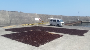 岡田漁港で干した天草