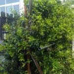 ジャスミンの木