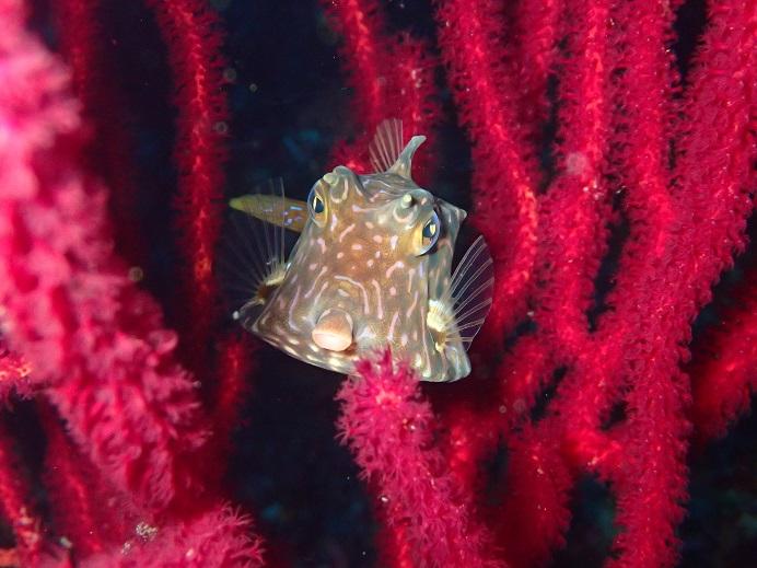 秋の浜 水深ー25m シマウミスズメです。
