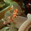 秋の浜のアカホシカクレエビ(抱卵)