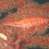 秋の浜のクダゴンベとハナオトメウミウシ