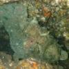 秋の浜のソウシカエルアンコウ