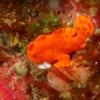 伊豆大島・秋の浜のイロカエルアンコウ幼魚