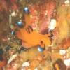 伊豆大島・秋の浜のウデフリツノザヤウミウシ