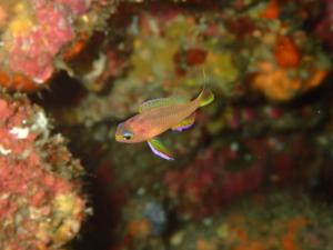 伊豆大島・秋の浜のキシマハナダイ幼魚