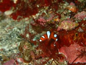 伊豆大島・秋の浜のツユベラの幼魚