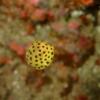 伊豆大島・秋の浜のミナミハコフグ幼魚
