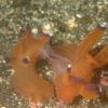 伊豆大島・秋の浜のクチナシツノザヤウミウシの交接
