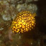 伊豆大島・秋の浜のマツカサウオ幼魚