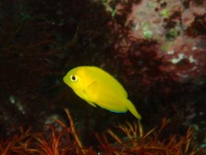 伊豆大島・秋の浜のモンツキハギ幼魚