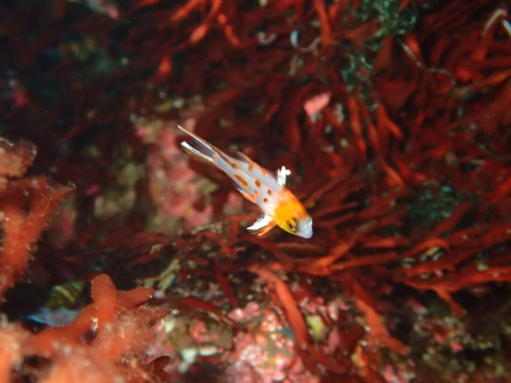 秋の浜ヒオドシベラ幼魚